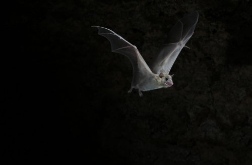 Swiss bats host 39 virus families, some could infect humans - study