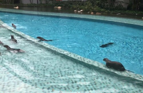 Otter family invades apartment block to go swimming in pool in Singapore