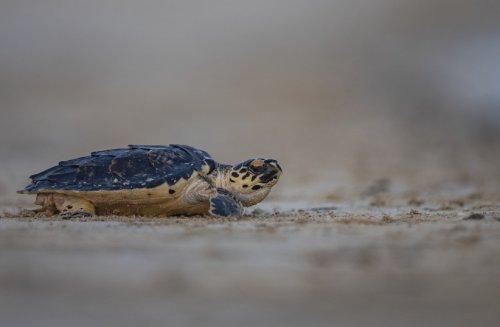 Abu Dhabi releases rehabilitated sea turtles back into the wild