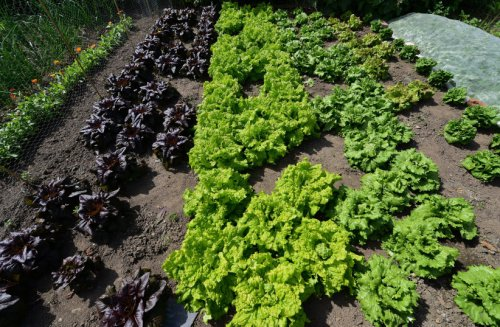 Can you grow COVID-19 vaccine-lettuce? UC Riverside scientists think so