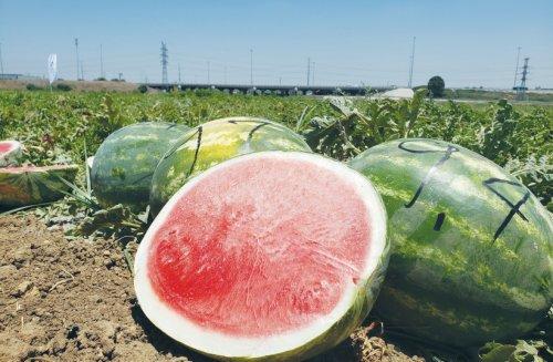 What makes Israeli watermelon so good?