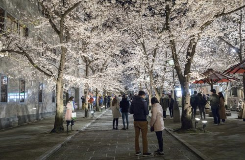 Kyoto and its cherry blossoms are well worth the visit