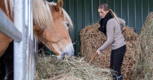 Diät für Pferde mit gewässertem Heu