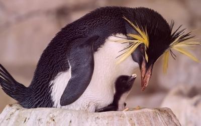 Nachwuchs für bedrohte Pinguin-Art im Tiergarten Schönbrunn