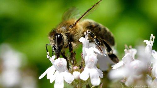 Honig der Wiener Rathausbienen geerntet