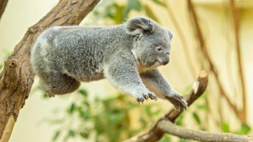 """Schönbrunner Koala-Nachwuchs """"feiert"""" ersten Geburtstag"""