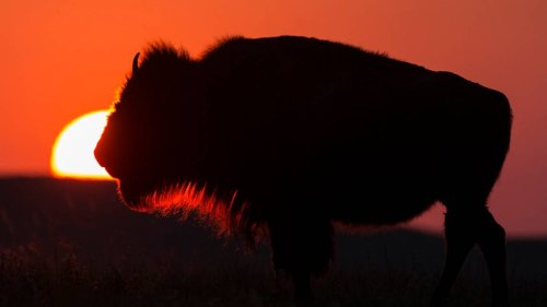 The Plains are home to buffalo that roam - and here's where you can see them