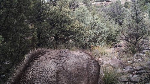 Do you see a mountain lion in this photo, poised to kill? Most people can't find it