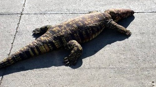 An alligator in Iowa? It's not what it seems, animal rescue group says