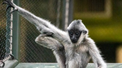 'Extraordinarily saddened': Baby ape dead after apparent drowning at Kansas City Zoo