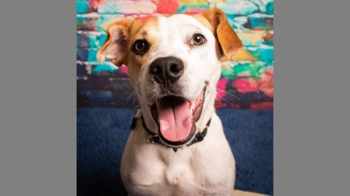 Beagle at Unleashed Pets is energetic and has gleeful personality