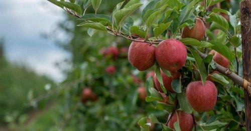 Major Kent apple grower sold for £15.7 million