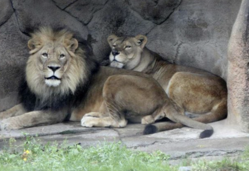 India Covid crisis: Sterilised meat for big cats in Kerala zoos
