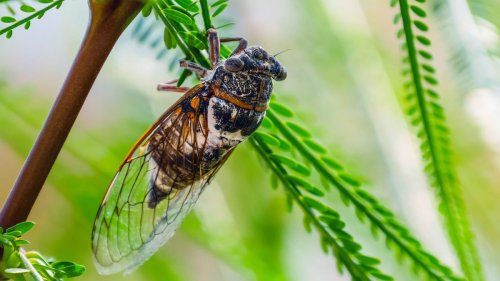 How to Get Cicadas Out of Your Yard Without Using Chemicals