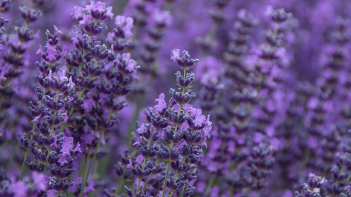 The Difference Between French and English Lavender, And Which to Plant