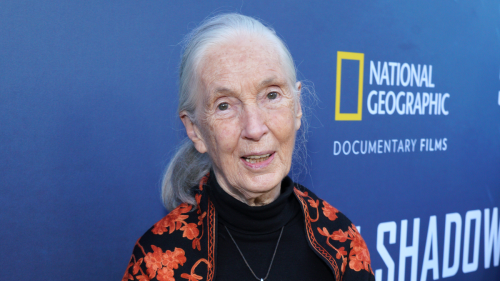 Jane Goodall Returns From Latest Expedition With Annoying Chimp Accent