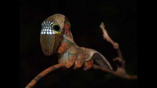Esta polilla australiana cuenta con una máscara para defenderse