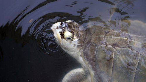 Thousands of Stunned Sea Turtles Being Rescued From the Texas Freeze