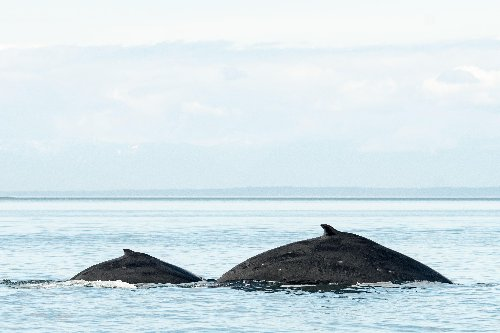 Rare grouping of whales spotted near Friday Harbor over Mother's Day weekend