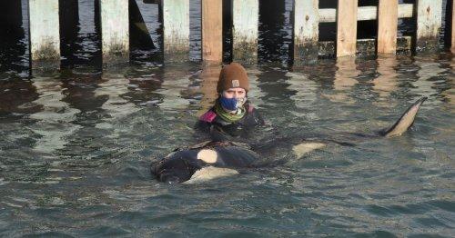 Muss das gestrandete Orca-Baby in Neuseeland eingeschläfert werden?