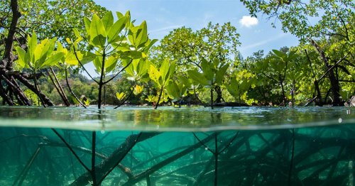 Many mangrove restorations fail. Is there a better way?