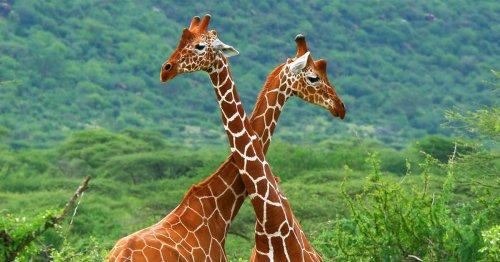 Heads up! The cardiovascular secrets of giraffes