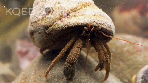 Watch These Hermit Crabs Shop for the Perfect Shell | KQED