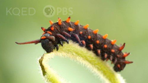The Pipevine Caterpillar Thrives in a Toxic Love Triangle | KQED