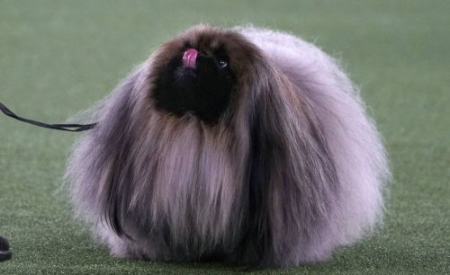 Wasabi the Pekingese Won Best in Show and Westminster Fans are Mad | KQED