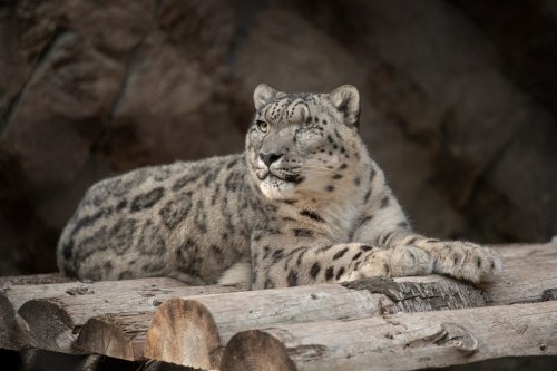 San Diego Zoo reports suspected COVID-19 case in snow leopard