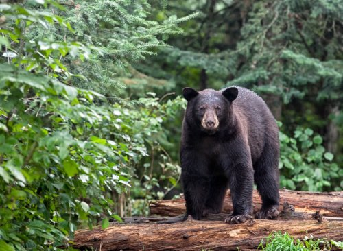 Black bear known for ransacking stores near Lake Tahoe shot and killed by family on camping trip, officials say
