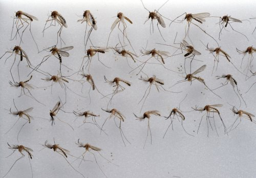 L.A. County could see more mosquitoes with hotter, longer summers