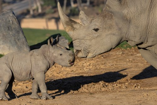 Help name a baby rhino at the San Diego Zoo Safari Park