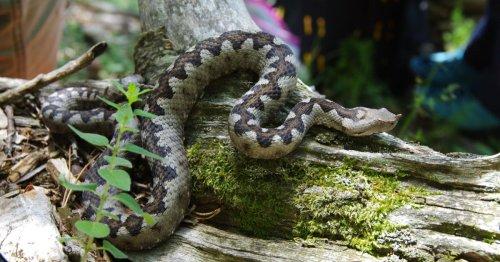 Ausgesetzte Giftschlangen im Kletterparadies