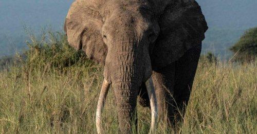 Hunderte Lizenzen für Abschuss von Elefanten in Botswana