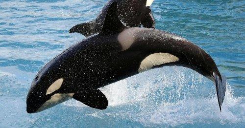 Zwei Orcas auf Abwegen vor Südwestengland gesichtet