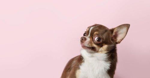 Wissenschaftlich bewiesen: Diese Hunderassen sind am witzigsten