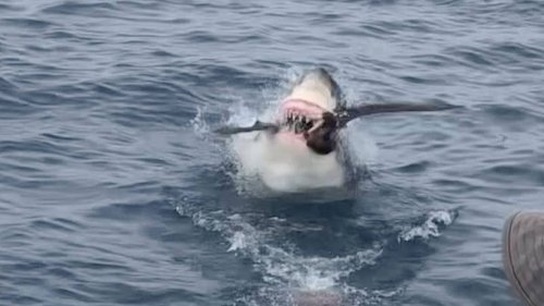 Tourists Blown Away As Great White Shark Suddenly Strikes And Swallows Bird Whole