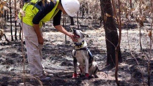 Hero Dog Honoured With Big Award For Helping Find Koalas After 2019-20 Australian Bushfires