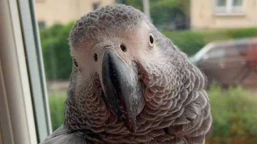 Hilarious Parrot With Thick Scottish Accent Goes Viral