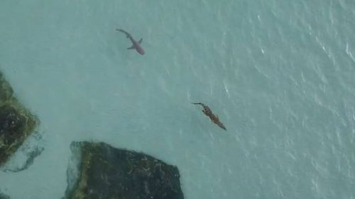 Frantic Moment Shark Chases Crocodile In Australia