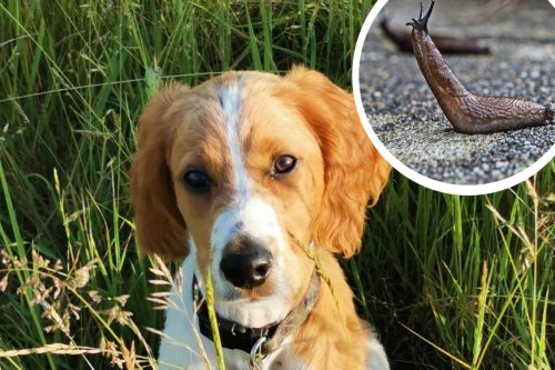 Interactive map reveals lungworm hotspots that dog owners should be aware of