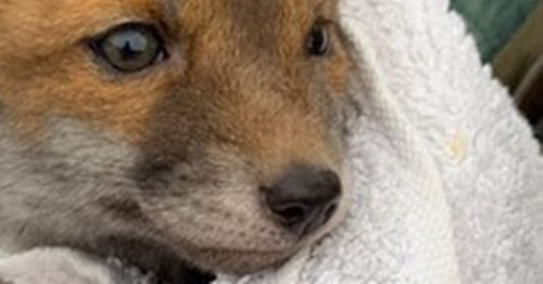 Tiny orphaned fox cub found abandoned on Heysham footpath