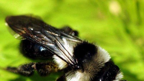 Deux-Sèvres : comment éviter de se faire attaquer par des abeilles ?