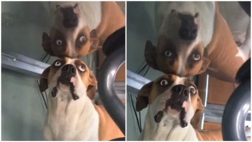 Reflection Makes Dog Question Her Reality