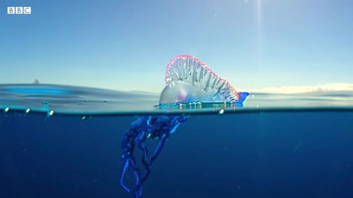 The Lethal Beauty of the Portuguese Man O' War