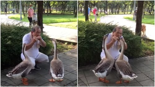 A Pair of Music-Loving Geese Are Transfixed by Man Playing Harmonica for Them in a Park