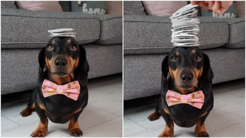 An Adorable Dachshund in a Pink Bow Tie Balances 17 Tea Bags on His Little Head