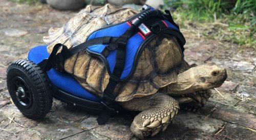 Giant Sulcata Tortoise With Underdeveloped Back Legs Takes His Very First Steps Using a Custom Wheelchair