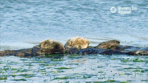 12 Relaxing Hours of Sleeping Sea Otters Bobbing In the Monterey Bay With Ambient Ocean Sounds